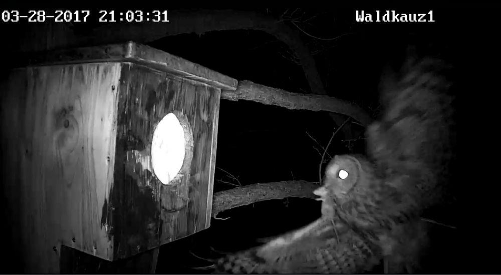 Das Männchen bringt eine Langschwanzmaus.