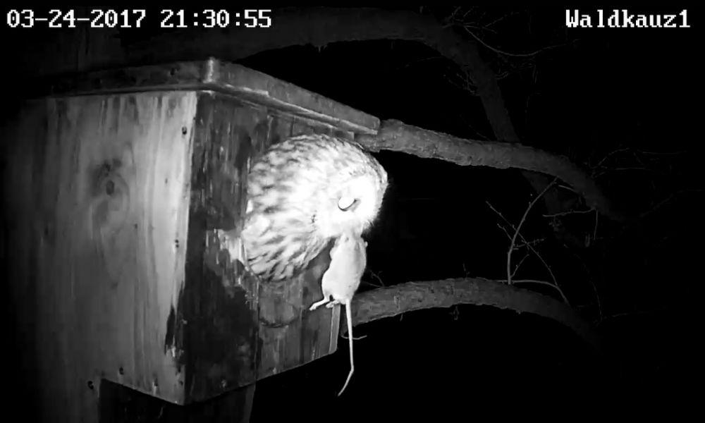Das Weibchen trägt eine Langschwanzmaus nach draußen.