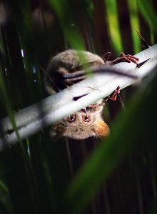 Erwischt: Ein Koboldmaki beim Turnen - Foto: Lara Shirin Bienkowski