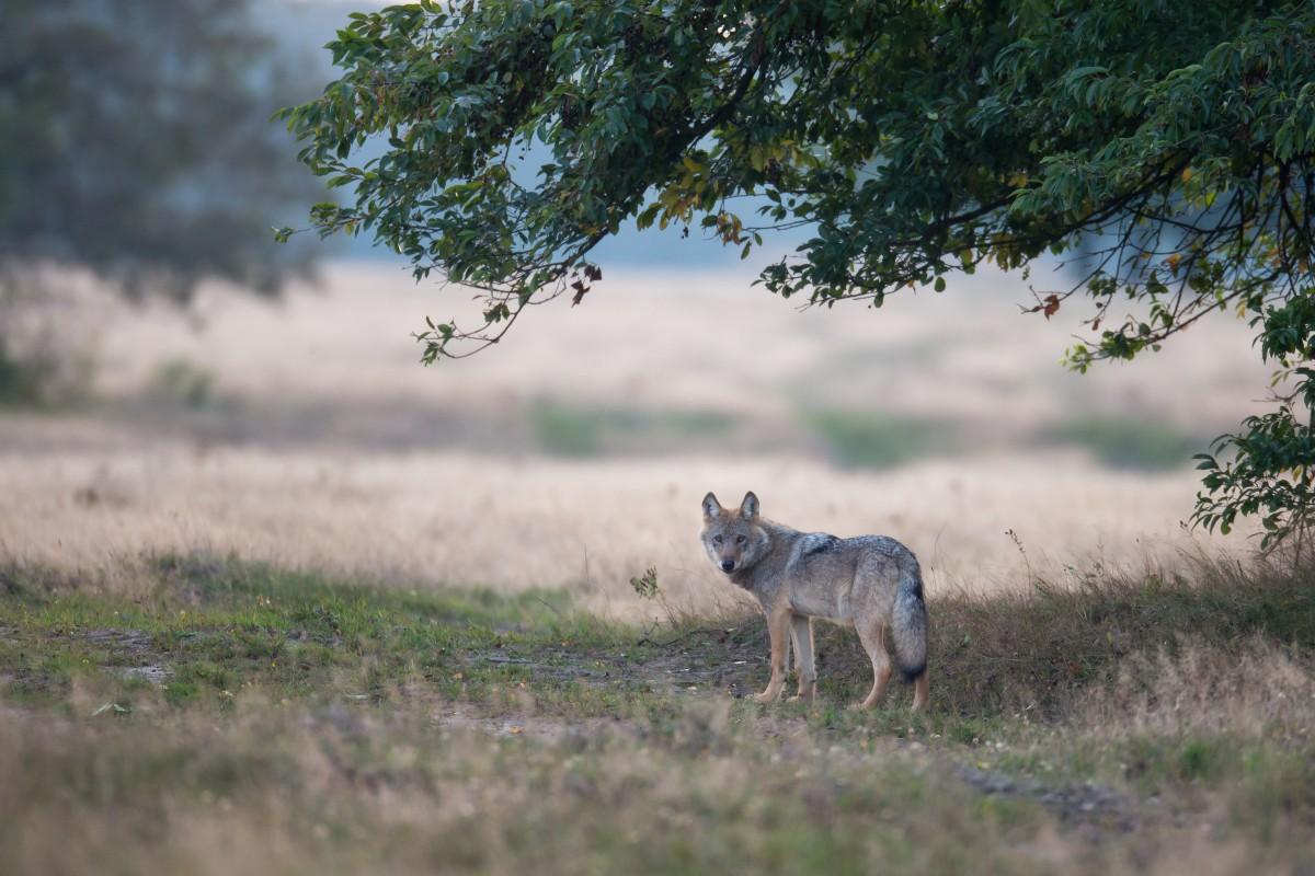 Wolf am frühen Morgen auf dem Truppenübungsplatz Munster Nord in der Lüneburger Heide. Foto: Jürgen Borris