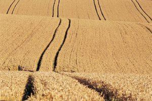Vielfalt sieht anders aus: Strukturarmes Getreidefeld (Foto: RSPB)