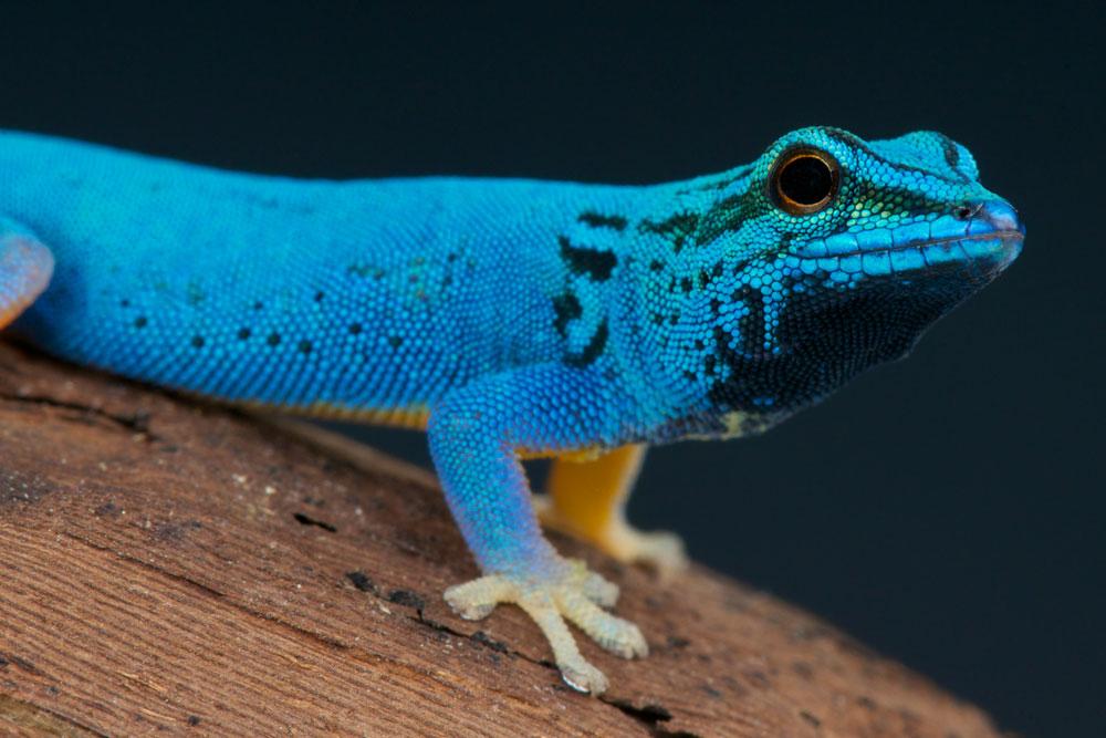 Gecko - Foto: iStock / reptiles4all