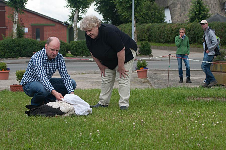 Nobby wird nach erfolgreicher Besenderung freigelassen (Foto: Kai-M. Thomsen).