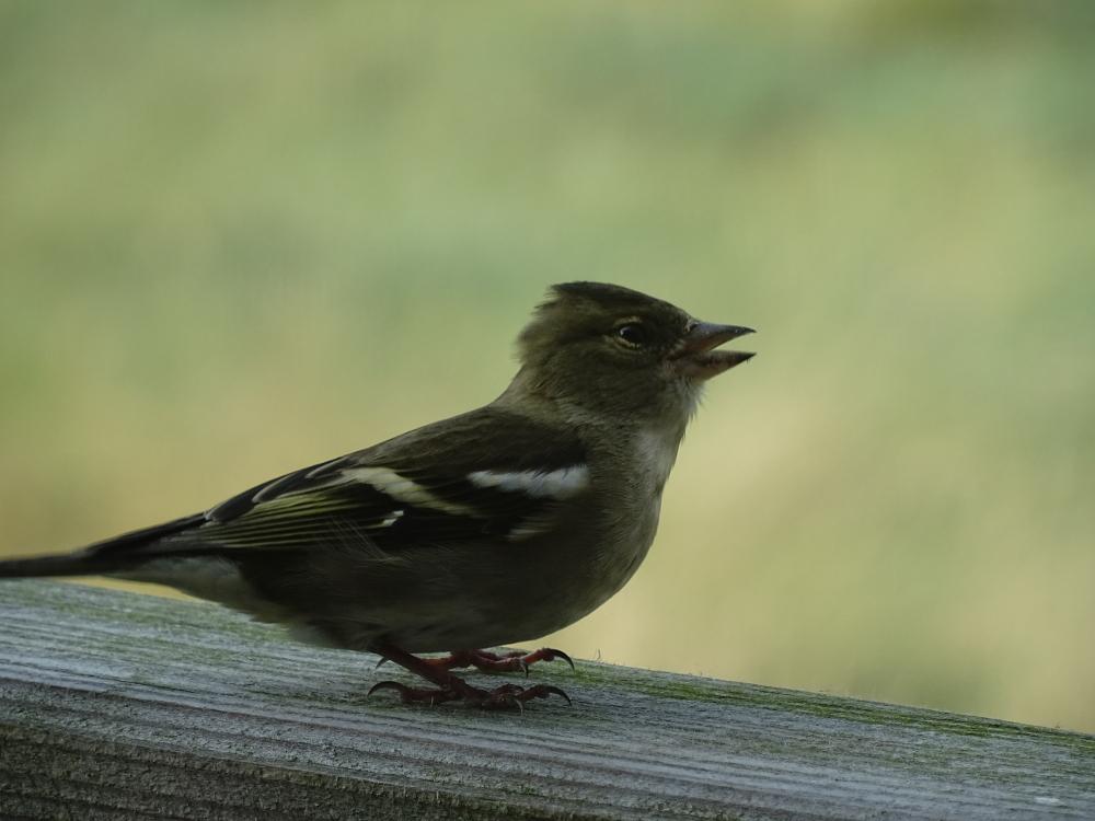 Buchfink (Fringilla coelebs) zu Besuch auf Trischen