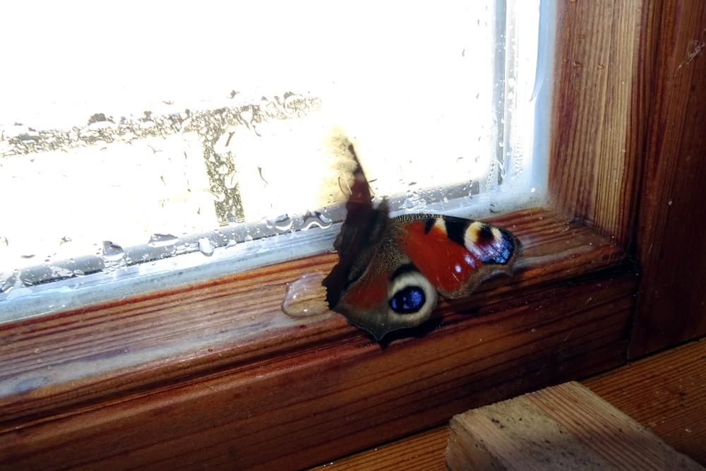 Ein Tagpfauenauge (Aglais io) in der Hütte geschlüpft. Ich konnte ihn in die Freiheit begleiten (Foto: M. Maier)