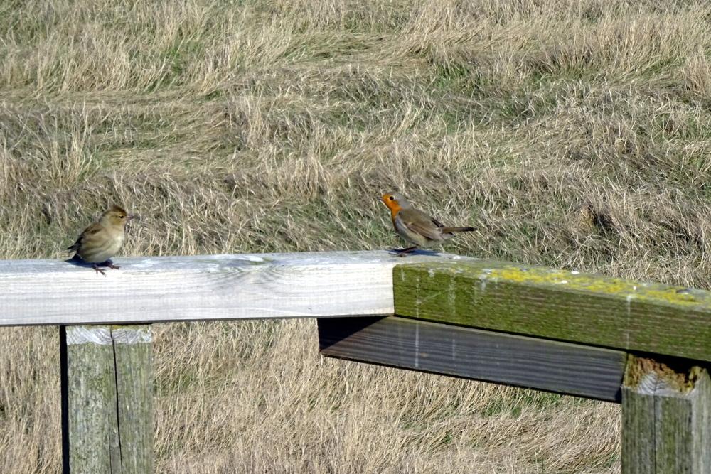 Das Rotkehlchen zeigt ein ausgeprägtes Revierverhalten: es scheucht rastende Vögel in der Nähe der Hütte auf (Foto: M. Maier).