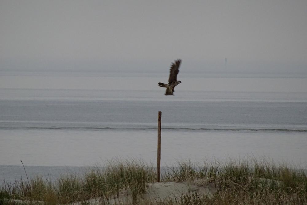 Zufallsbeobachtung: Wanderfalke (Falco peregrinus) auf einem Pfahl in der Nähe der Hütte (Foto: M. Maier).