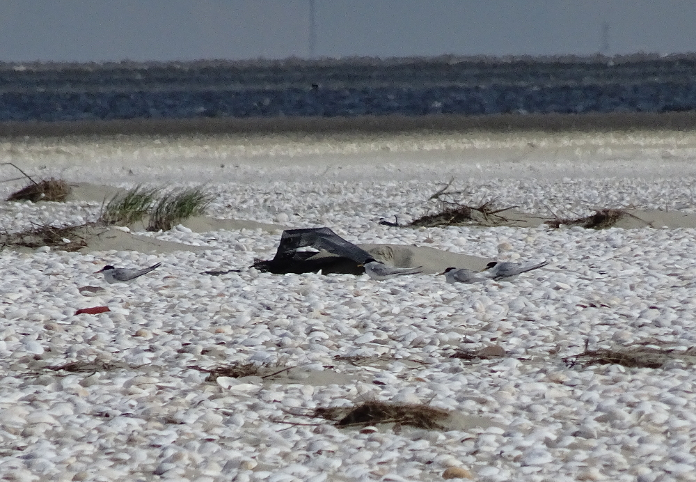 Zwergseeschwalben (Sternula albifrons) am Südstrand von Trischen