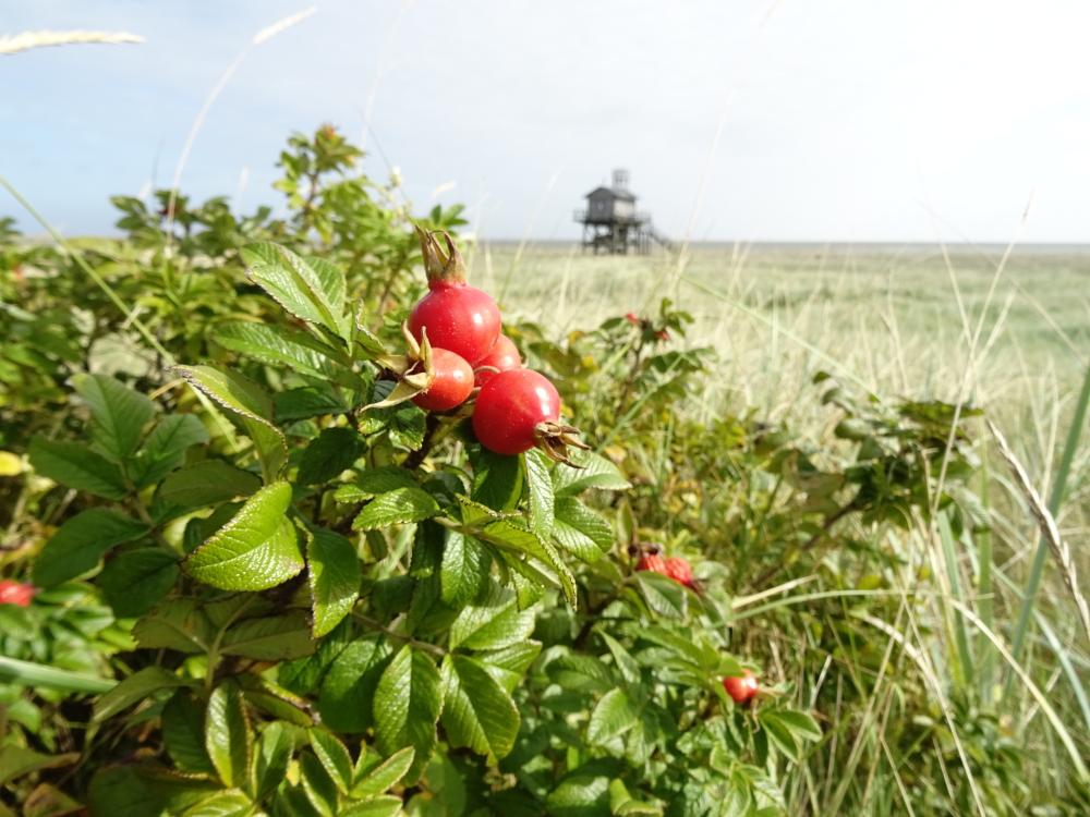 Die Hagebutten sind reif - vor allem kleine Singvögel profitieren auf diese Art von der sonst problematischen Pflanze Rosa rugosa.