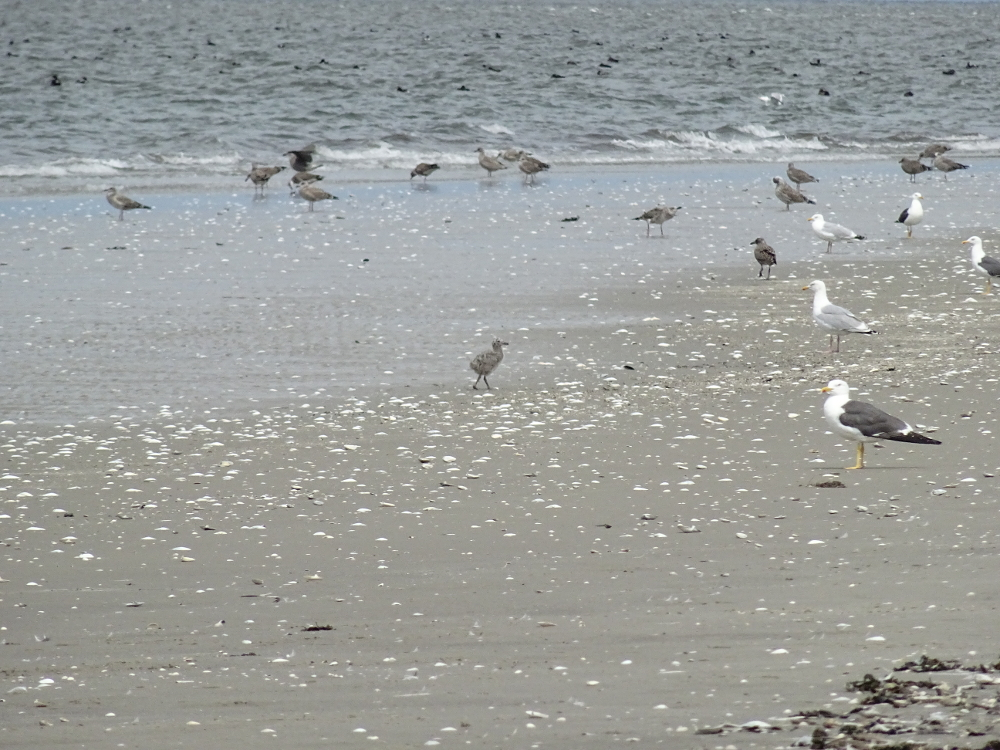 Möwenküken am Strand