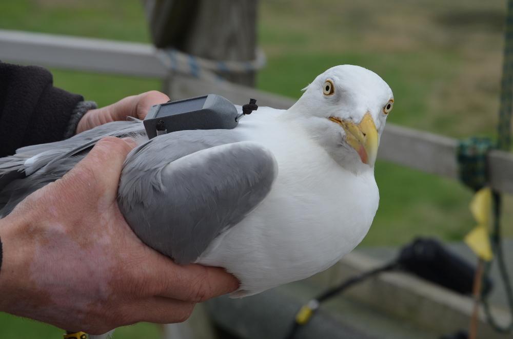 Mit GPS-Sender ausgestattete Silbermöwe auf Trischen (Foto: R. Borrmann)