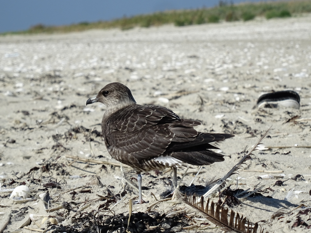 Junge Falkenraubmöwe (Stercorarius longicaudus)