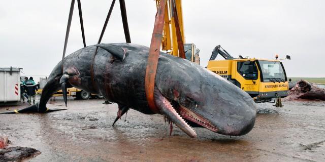 Um die tonnenschweren Pottwale zu untersuchen, war schweres Gerät erforderlich. –  Foto: Institut für Terrestrische und Aquatische Wildtierforschung