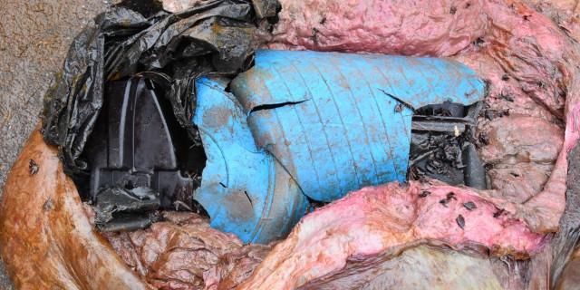 Im Magen eines Wals wurden mehrere große Plastikteile gefunden. –  Foto: Institut für Terrestrische und Aquatische Wildtierforschung