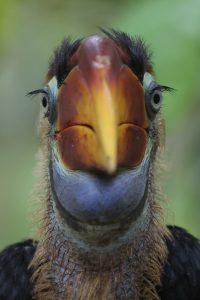 Helmhornvogel auf Gorontalo - Barend van Gemerden