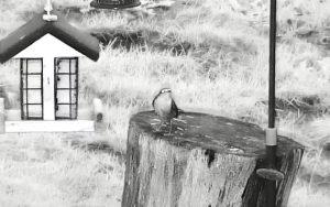 Rotkehlchen vor der NABU-Webcam