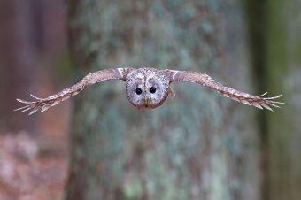 Fliegender Waldkauz - Foto: Marcus Bosch