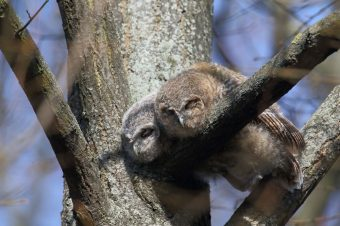 Zwei Waldkauz-Ästlinge ruhen sich auf einem Ast aus.