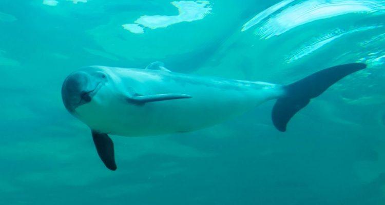 Hoffnung für den Ostseeschweinswal