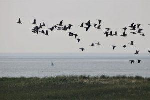 Der Vogelzug der Weißwangengänse - beobachtet von der Insel Trischen. Foto: Anne de Walmont