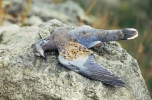 "Frühlingsjagd auf Turteltauben. Heute traurige Ausnahme, früher ""Normalität"". (Foto: BirdLife Malta)"