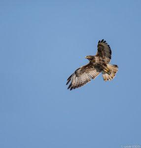 Fliegender Mäusebussard Foto: Olaf Titko