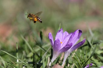 Honigbiene Foto: Kerstin Kleinke