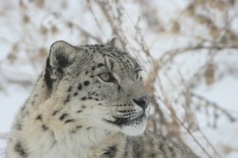 Schneeleopard © NABU/Heike Finke
