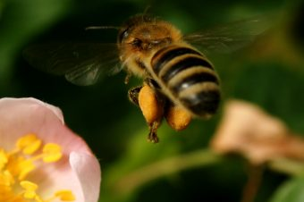 Emsige Honigbiene - Foto: Steffi Lange