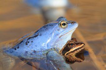 Moorfrösche bei der Paarung. Der Moorfrosch ist Europaweit geschützt nach der FFH-Richtlinie (Anhang IV) Foto: NABU/Klemens Karkow