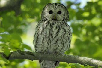Foto: Der Waldkauz ist Vogel des Jahres 2017 Foto: Tom Dove