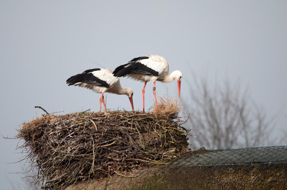 Adele und ihr Partner reparieren ihr Nest (Foto: K.-M. Thomsen).