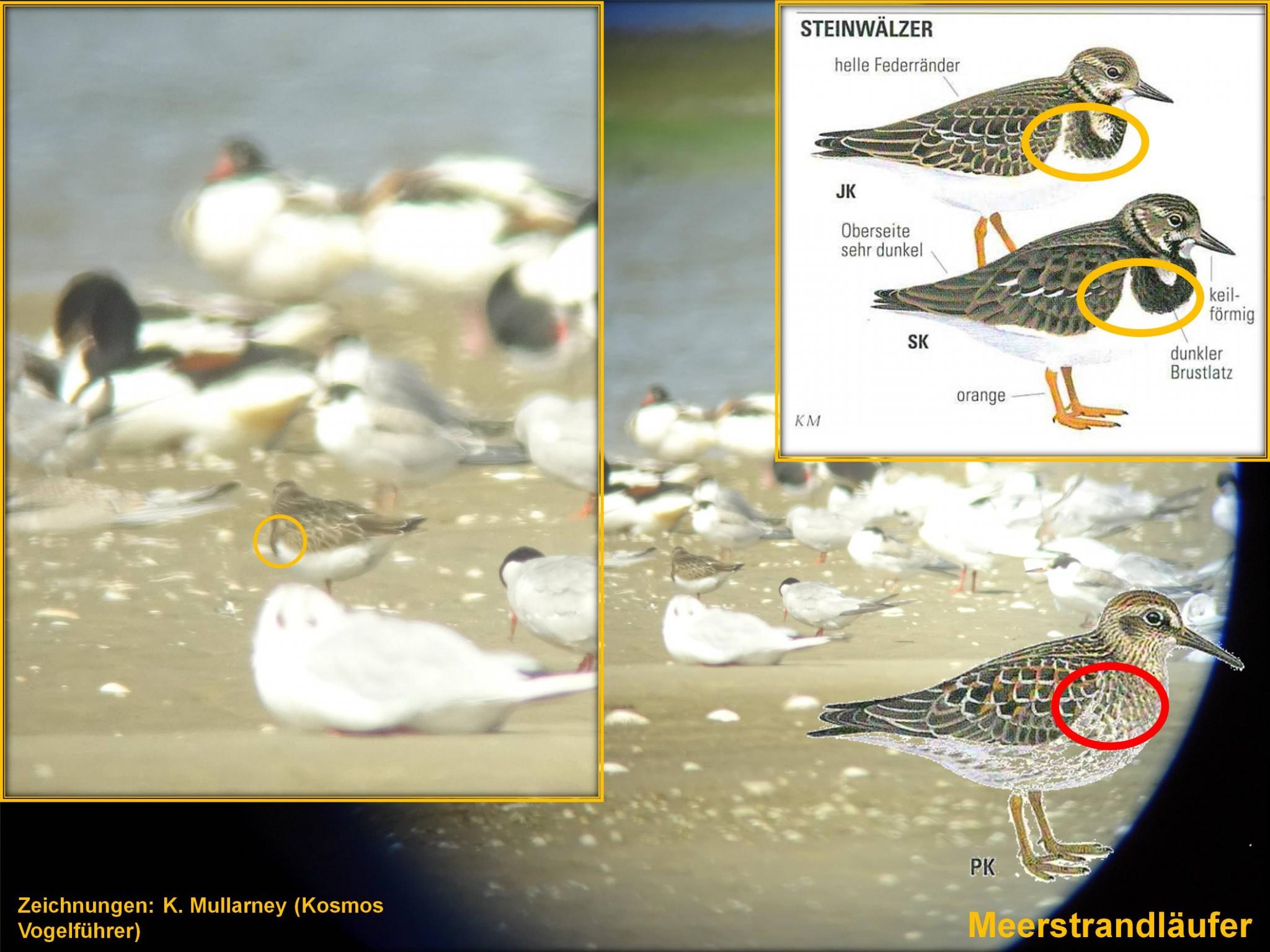 Schwierige Bestimmung: Kollage zur Identifizierung von Meerstrandläufer und Steinwälzer