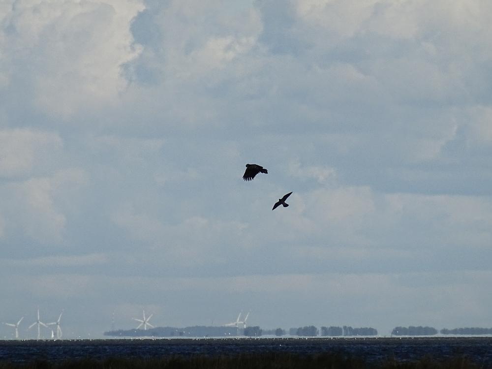 Ein Seeadler Seeadlern (Haliaeetus albicilla) wird von dem kleineren und sehr viel wendigeren Wanderfalken (Falco peregrinus) attakiert