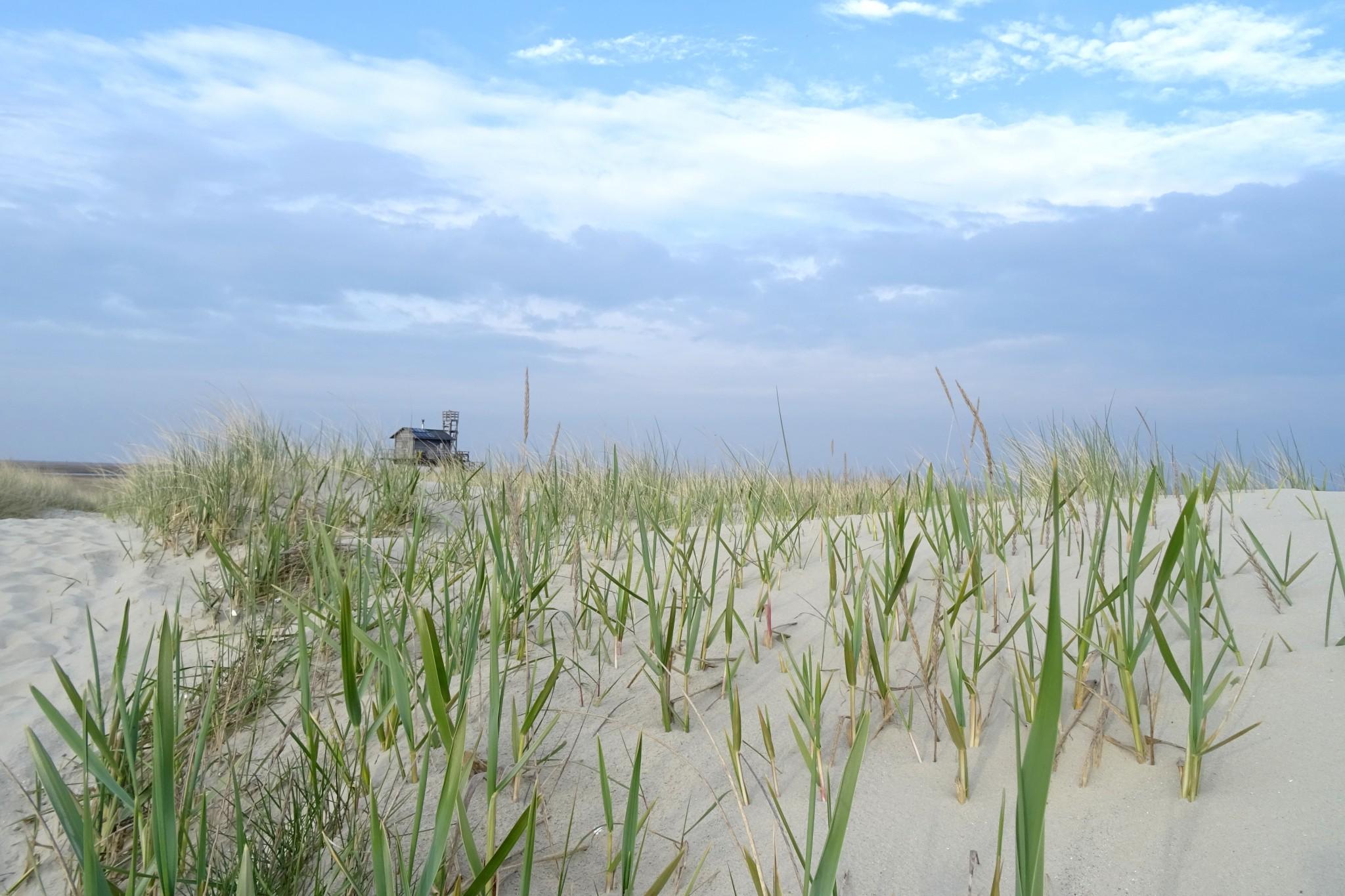 Strandroggen (Elymus arenarius) auf Trischen