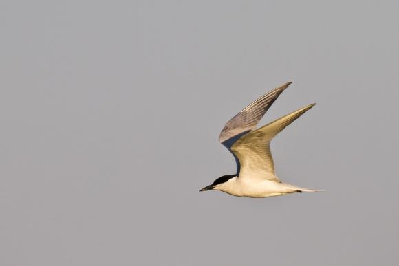 Lachseeschwalbe (Gelochelidon nilotica) im Flug. Foto: Martin Stock, www.wattenmeerbilder.de