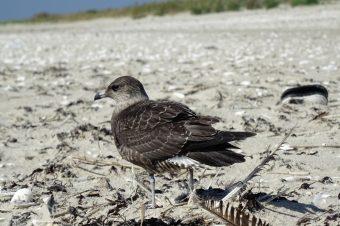 Junge Falkenraubmöwe (Stercorarius longicaudus)  Foto: M. Maier