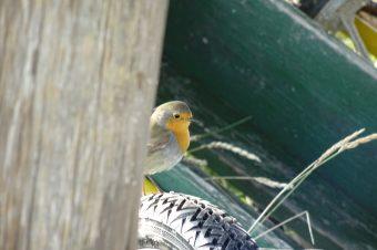 Heute scheinen sie überall und nirgends zugleich zu sein - die Rotkehlchen erkunden die Vogelwärterhütte